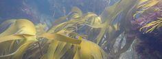 La paulatina desaparición de los bosques de algas que pueblan los fondos de la costa Cantábrica pone en peligro de extinción algunas especies de uso común en la industria alimenticia, farmacéutica o biotecnológica.El incremento de la temperatura del agua y de la radiación solar en la costa vasca y una reducción en la entrada de nutrientes han fulminado el frondoso arbolado acuático.