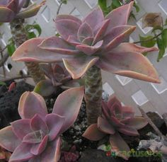 Growing Succulents From Seed, Types Of Succulents Plants, Propagating Succulents, Succulent Gardening, Succulents In Containers, Planting Succulents, Echeveria, Succulent Names, Desert Plants
