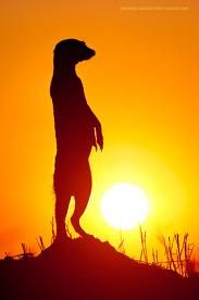 Meerkat On The Lookout © Marsel van Oosten Sunset Silhouette, Animal Silhouette, African Animals, African Art, Beautiful Creatures, Animals Beautiful, Animals And Pets, Cute Animals, Animals Planet