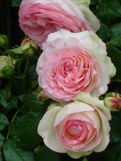 English Roses ~Pierre de Ronsard Roses named after a famous century poet from France - Amazing Flowers, Beautiful Roses, Beautiful Gardens, Beautiful Flowers, Pretty Roses, Cabbage Roses, Climbing Roses, Herb Garden, Garden Roses