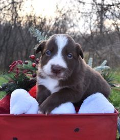 We Got Our First Mixed Border Collie And I Totally Fell In Love To Find Your Perfect Puppy Naviga In 2020 Collie Puppies For Sale Collie Puppies Border Collie Puppies