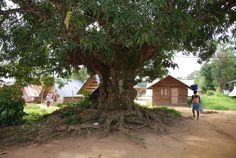 Oldest tree at Nieuw Aurora Marron Village Suriname