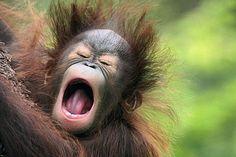 Kalijon, 5-month old Orangutan at the Kansas City, Missouri Zoo