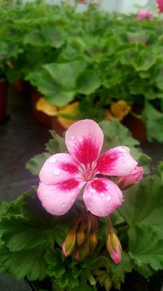 Sardunya/ Pelargonium