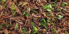 Insectes au menu : quelle vigilance sanitaire ?