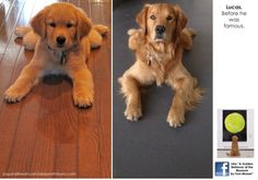 A Golden Retriever at the Museum | Life With Dogs