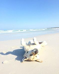 Labrador rolling on a sandy beach. Sweet Dogs, Cute Dogs, Yellow Lab Puppies, Golden Labrador, Homeless Dogs, Summer Dog, Summer Time, Dog Beach, Beach Fun