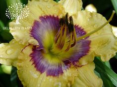 Daylily/Hemerocallis 'Days of Joy'  (Petit, 2009).  An absolutely stunning combination of yellow blooms with a violet blue patterned eye