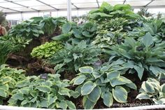 Brookfield Plants Gold Medal winning display of Hostas at the 2015 RHS Chelsea Flower Show