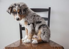 newborn blue merle australian shepherd puppies - Google Search #australianshepherdbluemerle