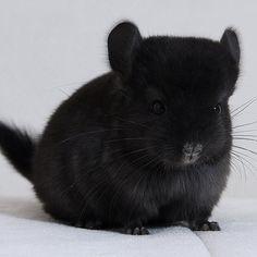 Rare Extra Dark Chinchilla!!! http://ift.tt/2gXxaAo