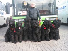 """Kennel of Black Russian Terrier """"Zolotoy Grad"""" - Our team Baby Farm Animals, Animals And Pets, Cute Animals, Black Schnauzer, Giant Schnauzer, Russian Cat Breeds, Big Dogs, Cute Dogs, Schnauzer Gigante"""