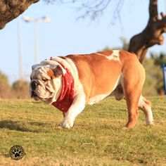 I love the feeling of the fresh air on my face and the wind blowing through my hair. #brooklyn #brooklynmood #pets #dogs #bulldogs #englishbulldogs #ecards #cards #sunday #morning #weekend