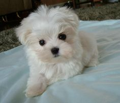A bitty Maltese puppy for @Sara Henry