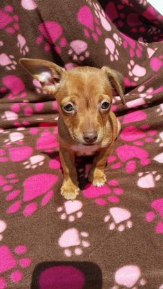 Cuddles #139-16 is an adoptable Miniature Pinscher searching for a forever family near Huntsville, MO. Use Petfinder to find adoptable pets in your area.