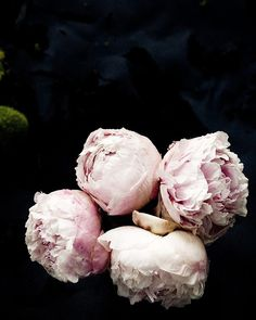 dreamy peonies, also Indiana's state flower