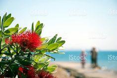 A Close-Up of the Pohutukawa flower . This New Zealand coastal tree. Kiwiana, Native Plants, Image Now, New Zealand, Close Up, Coastal, Flora, Royalty Free Stock Photos, Lifestyle