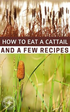 How To Eat A Cattail And A Few Recipes -- If you know how to eat a cattail correctly, you could have a great source of nutrients and much needed energy if SHTF! They also can be used for cordage and other survival uses too. Survival Food, Homestead Survival, Wilderness Survival, Outdoor Survival, Survival Prepping, Survival Skills, Emergency Preparedness, Survival Quotes, Survival Hacks