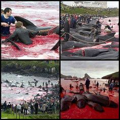 Please share this on, this is serious cruelty.    The Faroe Islands, a self-governing region under the Kingdom of Denmark, are a big shame.    The sea is stained in red and it is not because of the climate effects of nature. It's because of the cruelty of the human beings (civilized human) who kill hundreds of the famous and intelligent Calderon dolphins.    This happens every year in the Faroe Islands, a self governing region under the Kingdom of Denmark . In this slaughter the main particip...