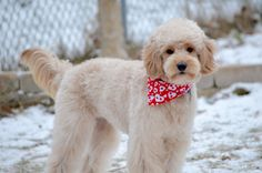 Goldendoodle haircut short ears