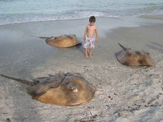 It also has lovely HORSESHOE CRABS ON THE BEACHES, swarming and waiting to destroy you.