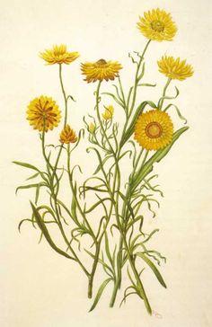 Xerochrysum bracteatum, Yellow Paper Daisy Artist: Adam Forster (~1850 - 1928)
