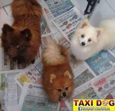 TAXI DOG MONTANHA TRANSPORTE DE ANIMAIS NO RIO DE JANEIRO: Jack, Bobi & Thor ( Rio de Janeiro para Pederneira...