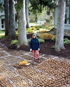 """Martha's Daffodil Planting Plan By creating a planting """"map"""" in advance, which I transferred onto the ground with granular lime, I was able to visualize what the springtime blossoming would look like -- and get bulbs into the ground in a single day. Planting Daffodil Bulbs, Planting Bulbs In Spring, Tulips Garden, Tulip Bulbs, Planting Plan, Garden Bulbs, Spring Bulbs, Bulb Flowers, Rare Flowers"""
