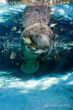 Manatee (Trichechus manatus) surrounded by fish.