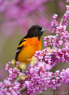 Baltimore Oriole / HOW TO ATTRACT ME TO YOUR HABITAT: Cottonwood Tree, plantains, Daisy, Huckleberry groundcover, Oregano, Pepperbery shrub, Bearded Iris. EXTRA TREATS: Mealworms (Important for migration), Eggs, Cookies (crumbled), cake, Grape Jelly-Generic ♥♥ and Bananas.  I'll eat leftovers.
