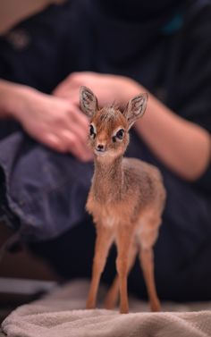 Keepers step in to hand-rear orphaned baby dik dik antelope at Chester Zoo – FeedPuzzle – P A U L A - Baby Animals Cute Little Animals, Cute Funny Animals, Cute Little Things, Chester Zoo, Tier Fotos, Cute Animal Pictures, Animal Pics, Cute Creatures, My Animal
