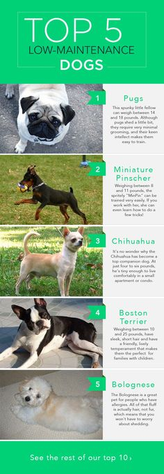 The Top 10 Low-Maintenance Dogs: Are you looking for a dog that would be a good fit for your busy lifestyle? One of these 10 low-maintenance breeds might be right for you!