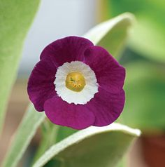 Bengal Rose Auricula by angelica Yellow Flowers, Spring Flowers, Beautiful Flowers, Garden Plants, House Plants, Flowering Plants, Primula Auricula, Plant Fungus, Fruit Seeds