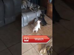 😸 Video of adoptable pet named Titan 🐶 Titan is an adoptable pet with Good Karma Pet Rescue in Fort Lauderdale FL Please visit their…