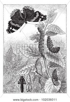 Red Admiral or Vanessa atalanta, showing development (1) Early Instar, (2) Late Instar (3) Pupa (4) Chrysalis (5,6) Nymph, and (6) Imago,vintage illustration. Dictionary Words and Things 1895