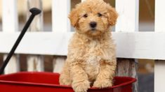 Labradoodle puppies for sale! These Labradoodle puppies are a designer mixed breed. They are a cross between the Standard Poodle & the Labrador Retriever. Schnoodle Puppies For Sale, Goldendoodle Puppy For Sale, Fluffy Puppies, Cockapoo Puppies, Labrador Retrievers, Sweet Dogs, Cute Dogs, Funny Dogs, Labrador Retriever