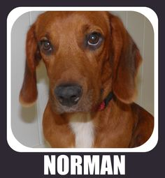 Foster Dog - Norman - Was in a shelter with less than 24 hours to live, CAN YOU BELIEVE IT???