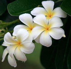 Plumeria, better known to most as frangipani.