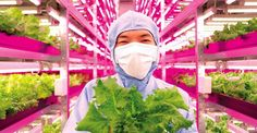 Japanese Scientist Grows 10,000 Heads Of Lettuce Every Day In His Hi-Tech Indoor Farm