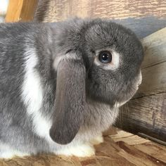 """35 mentions J'aime, 3 commentaires - Talz Rabbitry (@talz.rabbitry) sur Instagram : """"I have decided to call my rabbitry Talz Rabbitry (my name is Talisa) instead of Joyful Meadows…"""""""