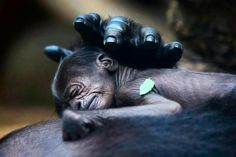 A baby gorilla sleeps on its mother.