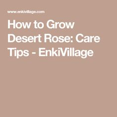 How to Grow Desert Rose: Care Tips - EnkiVillage