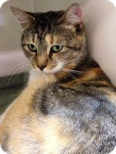 Media, PA - Domestic Shorthair. Meet Molly, a cat for adoption. http://www.adoptapet.com/pet/11954591-media-pennsylvania-cat