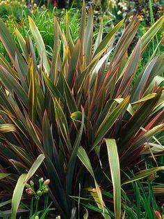 New Zealand flax - Dramatic sword-like foliage of easy-to-grow perennial (Phormium tenax) adds structural element to garden. Backyard Plants, Garden Shrubs, Garden Soil, Outdoor Plants, Gardening, Tropical Garden, Summer Garden, Tropical Plants, New Zealand Flax