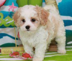 Cavachon Puppies By Foxglove Farm | Cavachons For Sale