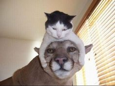 Little cat and BIG cat. I think the little one has him. #funny #cats #felines…