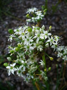 Chinese Garlic Chives - Garlic chives look like an onion chive but taste like garlic. So what are garlic chives and how do they differ from ordinary garden chives? Learn more about the herb and how to grow it in this article.