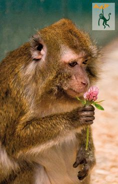 Crab-eating macaque Nenek enjoying some clover at AAP rescue center in Almere.