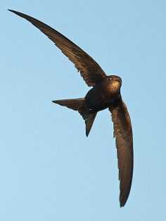Common swift (Apus apus) /Common Swifts are migratory. Their summer breeding range runs from Spain and Ireland in the West across to China and Siberia in the East. They breed as far South as Northern Africa (in Morocco and Algeria), with a presence in the Middle East in Israel, Lebanon and Syria, the Near East across Turkey, and the whole of Europe as far North as Norway, Finland, and most of sub-Arctic Russia.