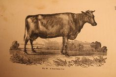 vintage dairy cow illustration
